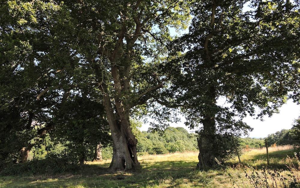 Brook Side oaks